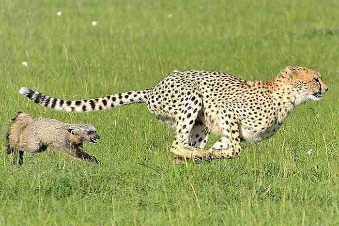 Το τσιτάχ νόμιζε ότι βρήκε εύκολο γεύμα.. Αλλά ξαφνικά κάτι παράξενο συνέβη!
