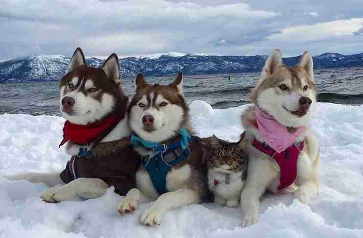 3 Χάσκι και μια γάτα που κινδύνευε να πεθάνει έχουν γίνει οι καλύτεροι φίλοι!