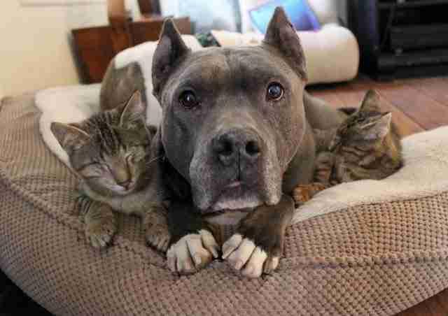 Άφησε τρεις τυφλές γάτες μαζί με δυο πίτμπουλ. Προσέξτε τι συνέβη ..