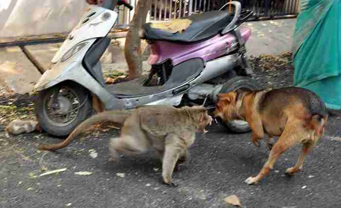 Μια μαϊμού υιοθέτησε ένα αδέσποτο κουτάβι, το προστατεύει από τα σκυλιά και το αφήνει να τρώει πρώτο