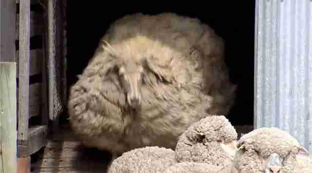 Βρήκαν ένα πρόβατο που είχε χαθεί πριν από 6 χρόνια και το κούρεψαν. Δείτε πόσο μαλλί μάζεψαν!