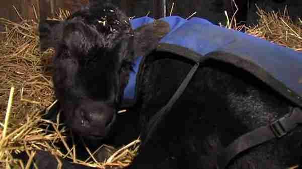 Ένας αγρότης βρήκε ένα μωρό μοσχάρι παγωμένο στο χιόνι. Προσέξτε τι έκανε για να το σώσει