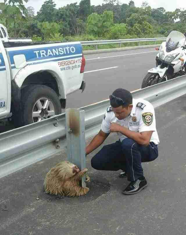 Ένας Βραδύπους που προσπάθησε να διασχίσει έναν αυτοκινητόδρομο σώθηκε χάρη σε έναν αστυνομικό