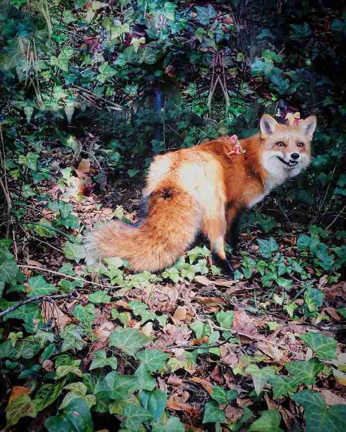Γνωρίστε την Τζούπιτερ, την πιο γλυκιά αλεπού σε όλο τον κόσμο!