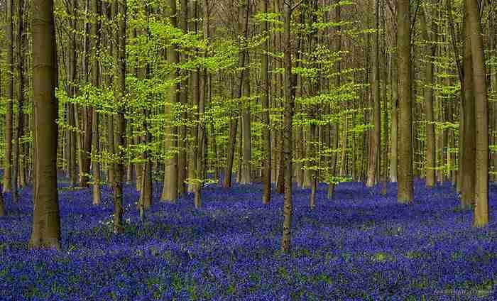 Υπάρχει ένα παραμυθένιο δάσος στο Βέλγιο όπου κάθε άνοιξη μεταμορφώνεται!