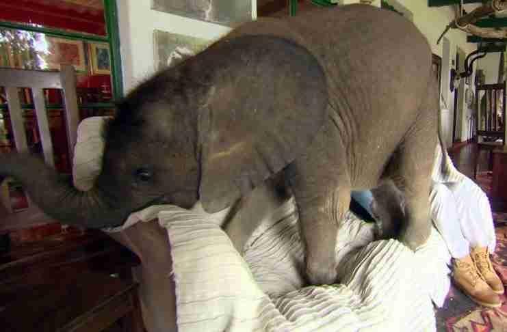 Έσωσε ένα μωρό ελέφαντα και από τότε την ακολουθεί παντού.. Σαν σκύλος!