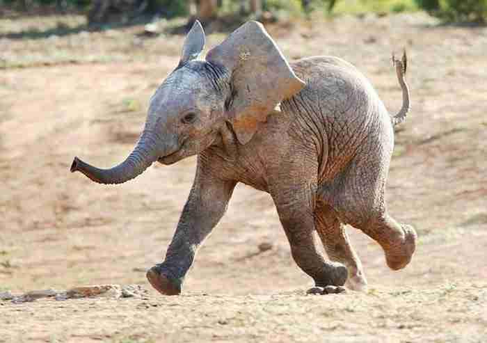 Τα περισσότερα ζώα δεν έχουν γιαγιάδες. Οι ελέφαντες όμως έχουν. Για έναν πολύ σημαντικό λόγο!