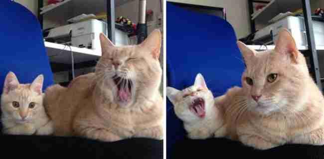 15 γάτες φωτογραφίζονται με τις χαριτωμένες μικροσκοπικές εκδοχές τους