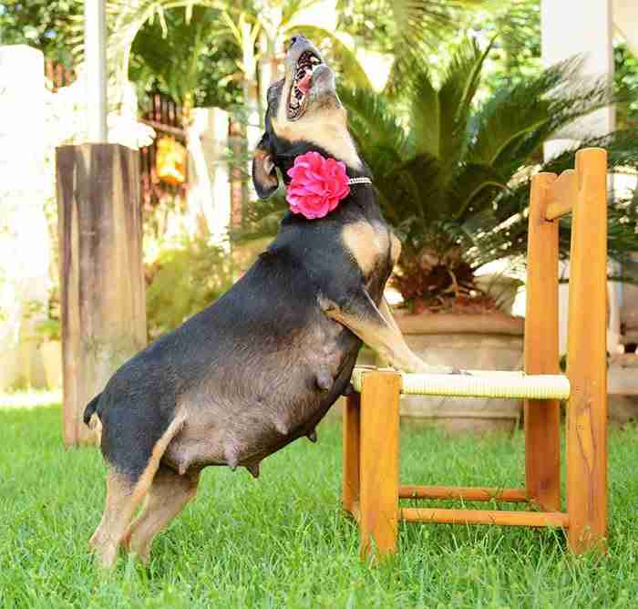 Μια έγκυος σκυλίτσα ποζάρει με νάζι στο φακό. Το αποτέλεσμα είναι υπέροχο!