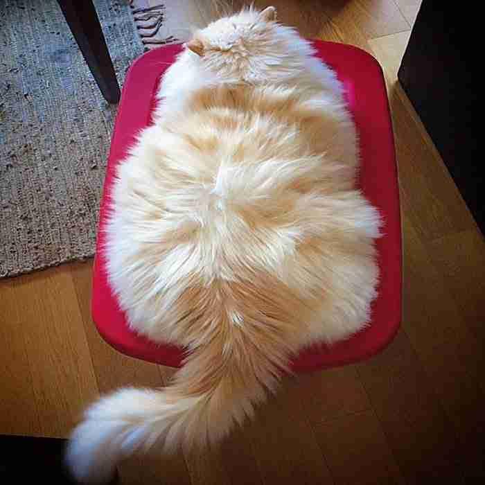 Αυτή η γάτα είναι τόσο μαλλιαρή που μοιάζει με.. σύννεφο!