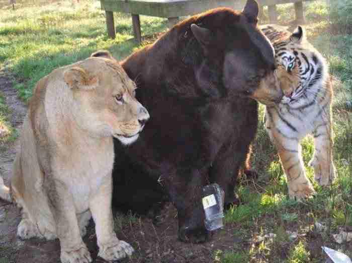 Μια παράξενη φιλία που κρατάει χρόνια. Μια αρκούδα, ένα λιοντάρι και μια τίγρης ζουν σαν αδέρφια!