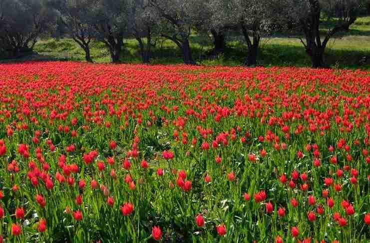 Σε ποιο ελληνικό νησί αυτή την εποχή γεμίζουν οι πλαγιές με τουλίπες;