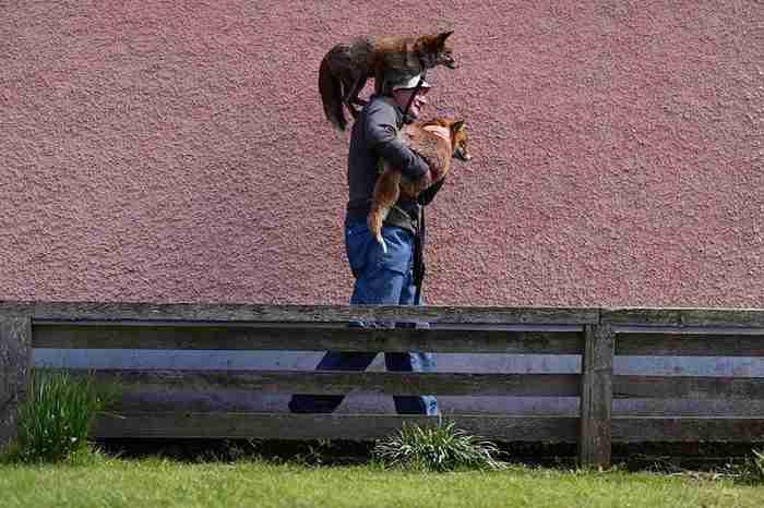 Από τότε που έσωσε αυτές τις αλεπούδες, δεν τον αφήνουν ούτε στιγμή μόνο του!