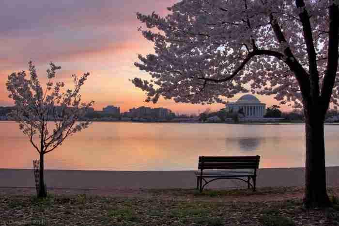 3.000 κερασιές άνθισαν στην Ουάσινγκτον. Το θέαμα είναι μαγευτικό!