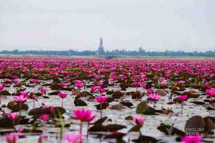 Μια λίμνη γεμάτη με ροζ λωτούς! Ένα υπερθέαμα της φύσης στην Ταϊλάνδη
