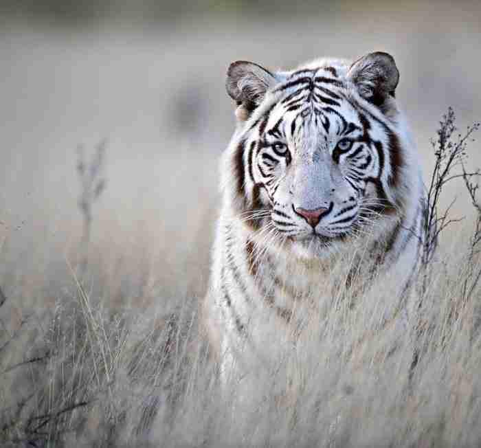 Τίγρεις: Η εξωτική ομορφιά τους σε 20 καταπληκτικές φωτογραφίες!