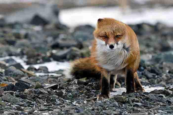 24 υπέροχες φωτογραφίες που αποδεικνύουν πόσο παρεξηγημένο ζώο είναι η αλεπού