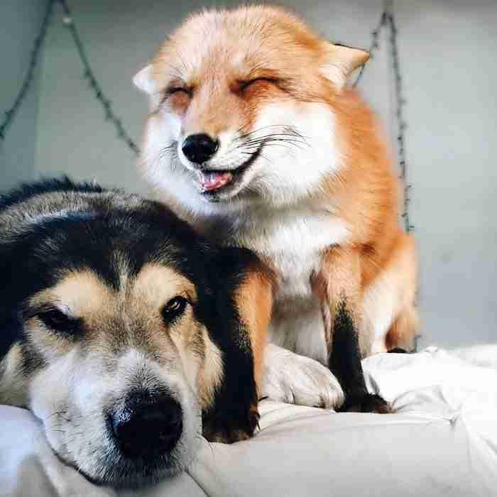 Μια αλεπού και ένας σκύλος έχουν γίνει οι καλύτεροι φίλοι! Οι φωτογραφίες είναι απίθανες!