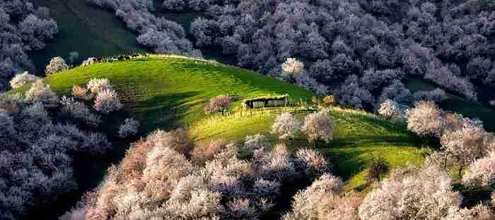 Μια κοιλάδα γεμάτη ανθισμένες βερικοκιές. Ένα θέαμα που κόβει την ανάσα!