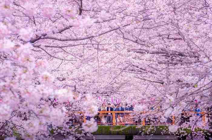 Τα άνθη από τις κερασιές έχουν χρωματίσει μια ολόκληρη λίμνη Μοβ στην Ιαπωνία! Απίστευτο θέαμα!