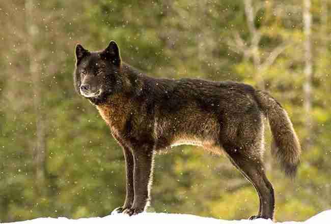 Παρακολουθούσε ανήμπορος ένα άγριο λύκο να πλησιάζει τον σκύλο του. Αλλά τότε κάτι απίστευτο συνέβη