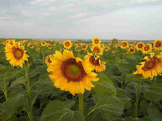 Όλα όσα δεν ξέρετε για το λουλούδι του καλοκαιριού. Τον Ηλίανθο!