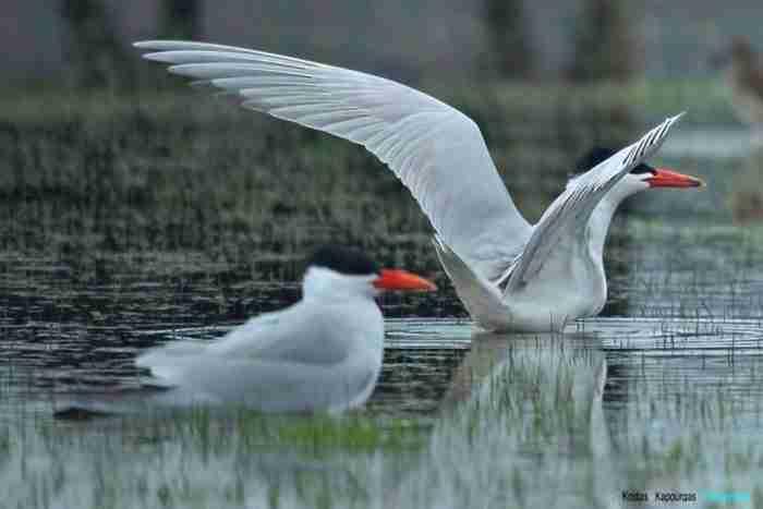 Το συγκινητικό τέλος ενός ζευγαριού πουλιών στη λίμνη της Καστοριάς. Μάθημα αφοσίωσης και συντροφικότητας
