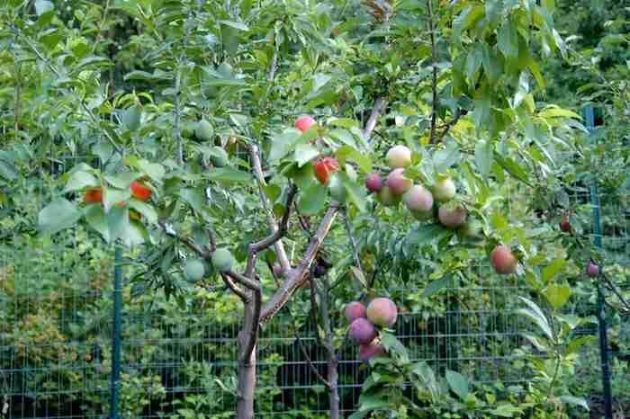 Ένας καθηγητής δημιούργησε το πρώτο δέντρο στον κόσμο που παράγει 40 διαφορετικά φρούτα!
