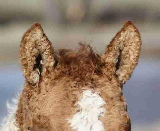 Υπάρχει μια φυλή αλόγων με σγουρό τρίχωμα, τόσο όμορφα που μοιάζουν με ψεύτικα!