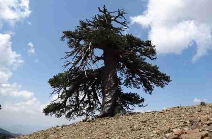 Το γηραιότερο δέντρο της Ευρώπης βρίσκεται στην Πίνδο!