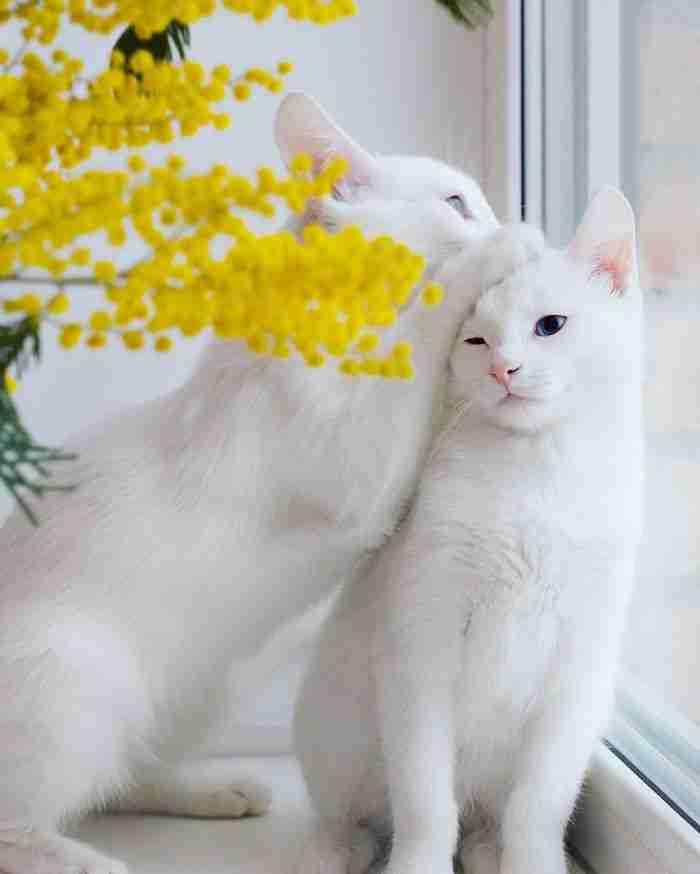 Γνωρίστε τις πιο όμορφες δίδυμες γάτες στον κόσμο.. Προσέξτε τα μάτια τους!