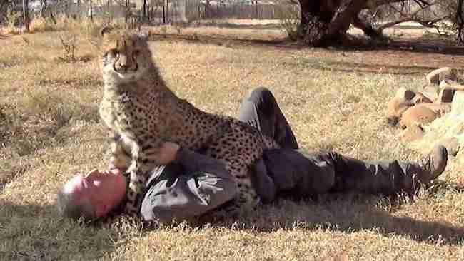 Όταν αυτό το άγριο τσιτάχ είδε τον άνθρωπο που το έσωσε, έκανε κάτι υπέροχο!