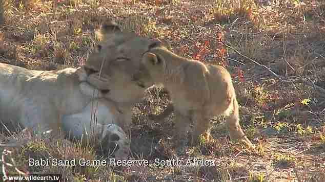 Η απίστευτη αντίδραση μιας λέαινας όταν την ξυπνάει το μικρό της!