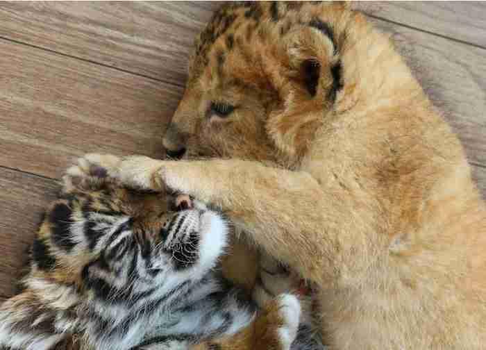 Υπέροχες φωτογραφίες μιας παράξενης φιλίας: Ένα τιγράκι και ένα λιονταράκι μεγαλώνουν μαζί!