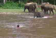 Ελέφαντας βουτάει με αυτοθυσία στο νερό για να σώσει άνδρα από «πνιγμό»