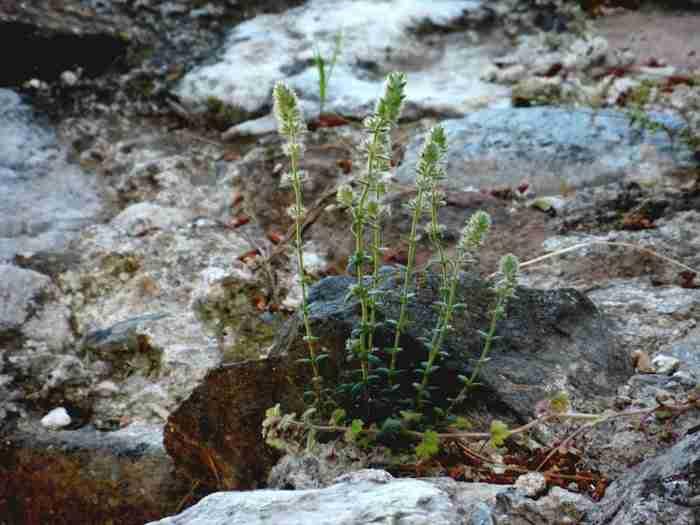 Υπάρχει ένα αγριολούλουδο που φυτρώνει μόνο στην Ακρόπολη και πουθενά αλλού στον κόσμο!