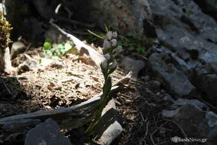 Το σπάνιο φυτό που απο όλο τον κόσμο υπάρχει μόνο στην Κρήτη!