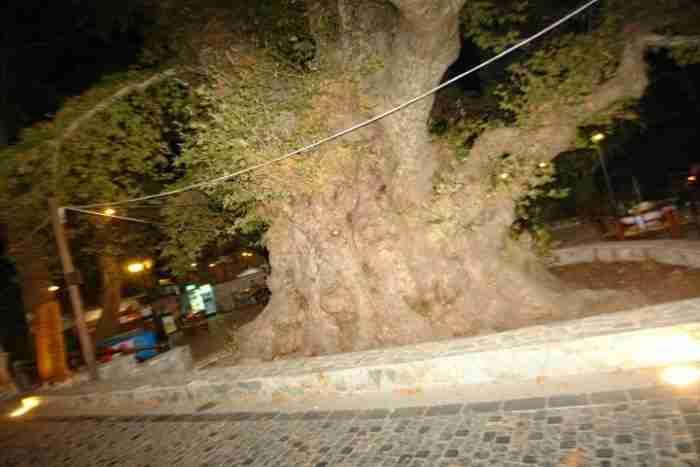 Σε ποια περιοχή της Ελλάδας βρίσκεται αυτός ο πλάτανος ηλικίας 2.400 ετών; Έχει περίμετρο 24 μέτρα και είναι από τους μεγαλύτερους στον κόσμο!