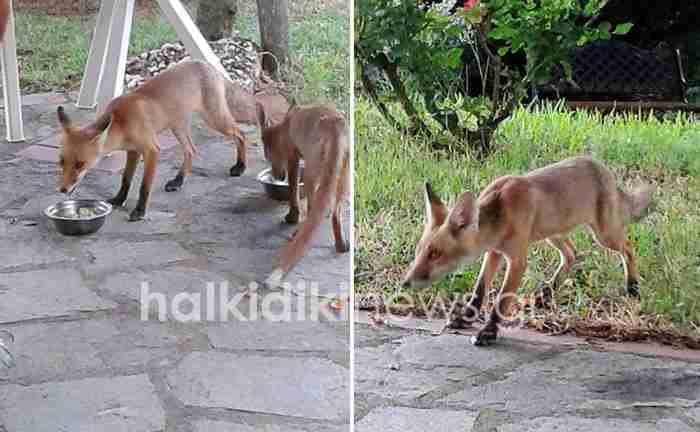 Κάθε μέρα τρία τολμηρά αλεπουδάκια επισκέπτονται μια γυναίκα από τη Χαλκιδική και τρώνε από τα χέρια της