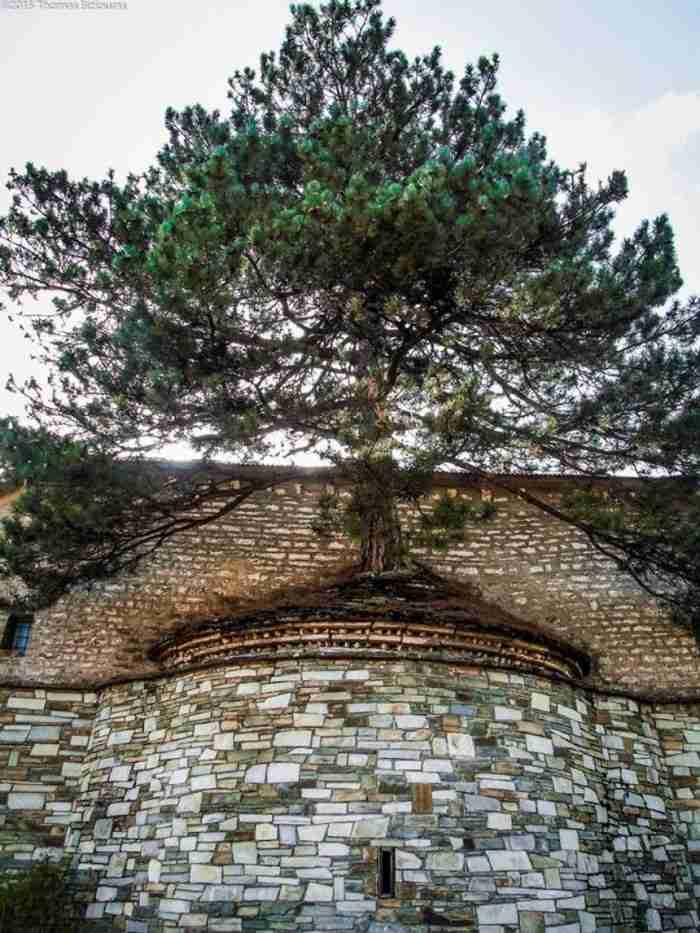 100 χρονών πεύκο μεγαλώνει μέσα σε ιερό εκκλησίας στα Γρεβενά