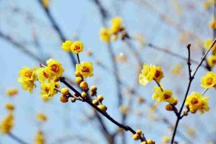Χειμωνανθός: Το λουλούδι του χειμώνα και ένα υπέροχο τραγούδι του Γιάννη Χαρούλη