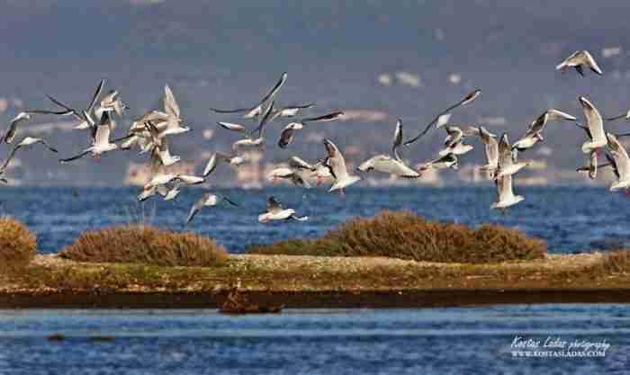 Μόλις 54 χλμ από την Αθήνα βρίσκεται ένας από τους τελευταίους υγροβιότοπους της Αττικής με πανέμορφα φλαμίνγκο και ερωδιούς