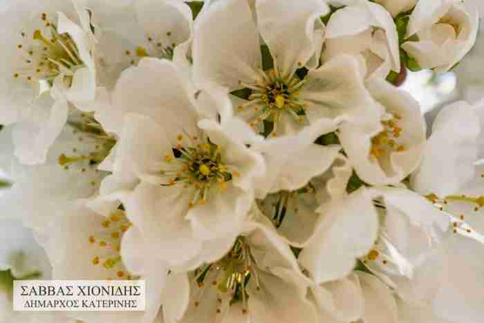 Οι ανθισμένες κερασιές της Κατερίνης.. Ένα μοναδικό υπερθέαμα