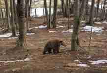 Ξύπνησαν οι αρκούδες στο Καταφύγιο του Αρκτούρου και οι εικόνες είναι πανέμορφες