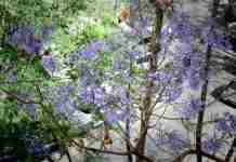 Το τροπικό μωβ που καλύπτει κάθε Άνοιξη την Αθήνα σε υπέροχες φωτογραφίες