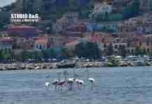 Εννέα πανέμορφα φλαμίνγκο έκαναν στάση στο Ναύπλιο (εικόνες και βίντεο)