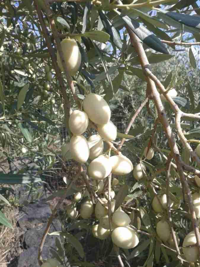 Λευκές ελιές: Μια σπάνια ποικιλία ελιάς με καταγωγή από την αρχαιότητα